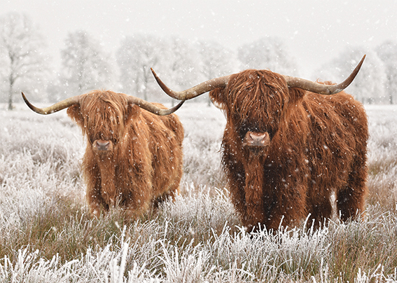 Highland Cow Duo Personalised Charity Christmas Card