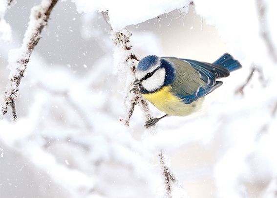 Icy Blue Tit Personalised Charity Christmas Card