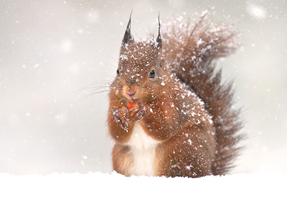 Red Squirrel in the Snow Personalised Charity Christmas Card