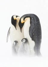 Emperor Penguins and Chicks Card