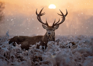 Majestic Stag Card