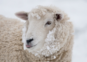 Sheep in the Snow Card