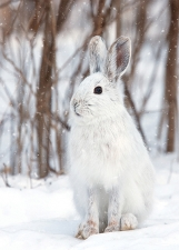 White Snowshoe Hare Card